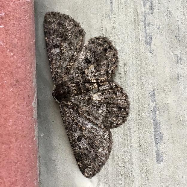 05-invertebrates-moth-img_3994