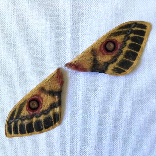 05-invertebrates-moth-wounded-emperor-neobunaeopsis-arabella-img_4011