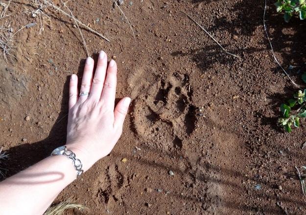 Hyaena spoor