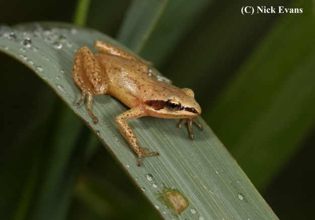 Mistbelt Chirping Frog 1