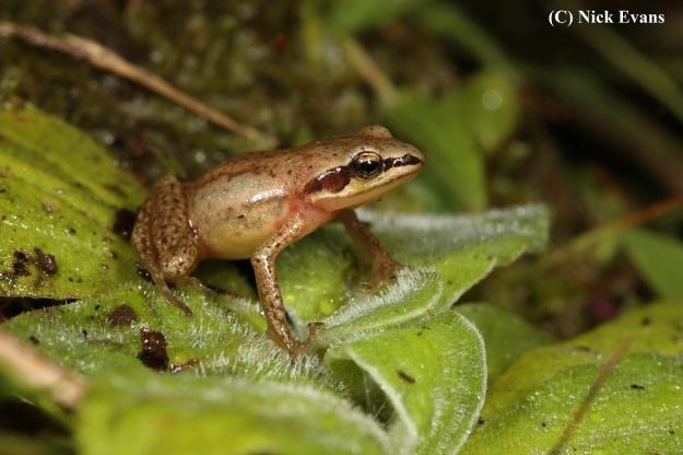 Mistbelt Chirping Frog 3